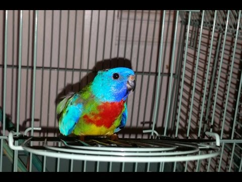 Turtle my Scarlet Chested Parakeet Plus …..