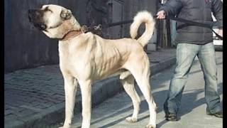 Pitbull Vs  Kangal , peleas de perros Pitbull