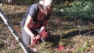 Cranberry (Lingonberry) Picking Quickie