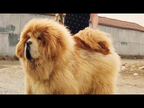 Top TIBETAN MASTIFF for Sale Puppies. International Shipping to all Global Locations (Except India)