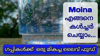 How to culture Moina | Easy method | Live food for Guppys | malayalam | Petz World