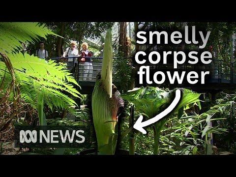 """""""Вонючий трупный цветок"""" цветет в ботаническом саду Аделаиды   ABC News"""