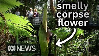 'Smelly corpse flower' blooms at Adelaide Botanical Gardens | ABC News