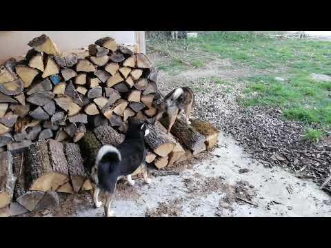 Shiba Inu hunting dogs