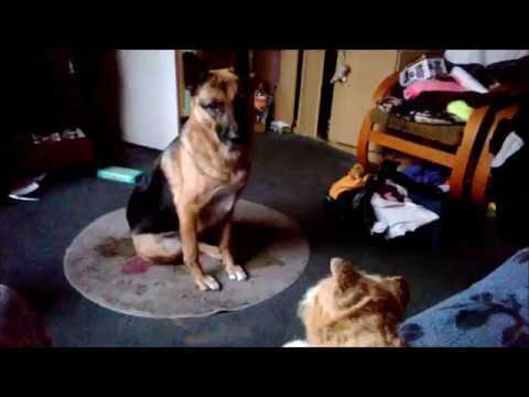 Pies reaguje na kota  [Dog vs cat]