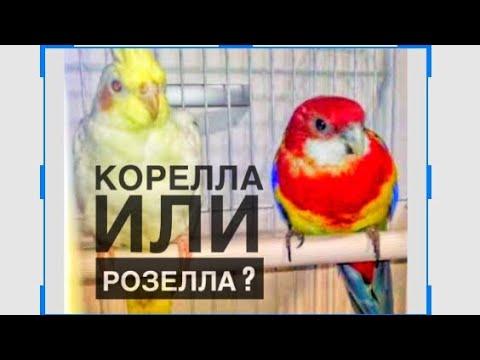 Два Яши. Попугай корелла и попугай розелла