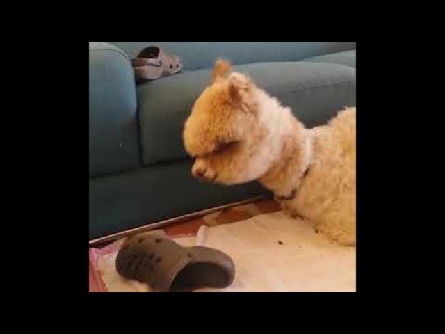 Alpaca Confused by Crocs || ViralHog