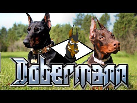 All about doberman pinschers | DOBERMAN 101