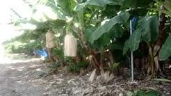 Banaanin viljelys