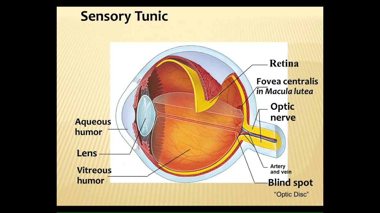 LECTURE: Special Senses - YouTube
