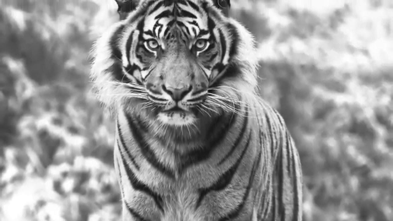 Die Tiger Strategie