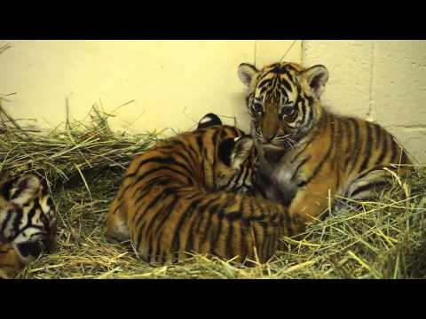 Tigers at Fresno Chaffee Zoo are now 50 days old