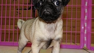 Pug, Puppies, For, Sale, In, Jackson, Mississippi, Ms, Clinton, Pearl, Horn Lake