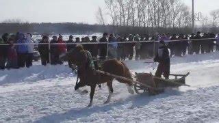 Бега в кашофках (2 заезд) Шушенское 2016 (Horse–Animal-racing-конь-смотреть-онлайн-скачка)