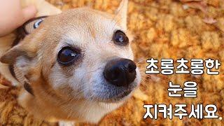 #15.내 실수로 강아지 눈이 안보인다면?강아지 키우기…