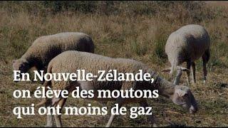 En Nouvelle-Zélande, on élève des moutons qui ont moins de flatulences