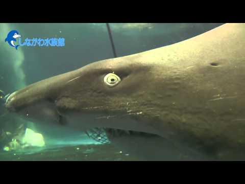 鮫(サメ)の水槽を掃除してみた@しながわ水族館