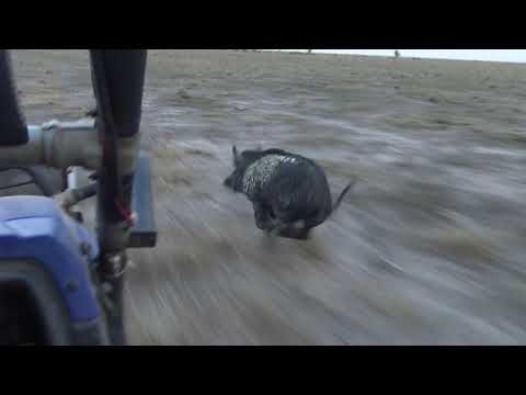 Pig Dogs In Action, Wild Boar Feral Pig Hunting