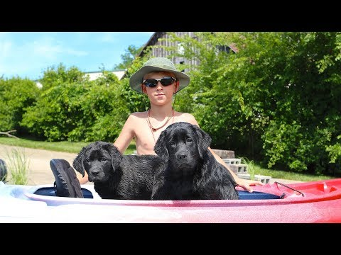 Labrador Retriever Training - Introducing puppies to swimming and kayaking!