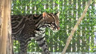 RAINFOREST PYRAMID UPDATE: Cooper the ocelot