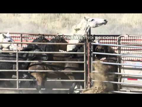 slaughtering-wild-horses