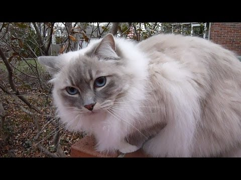 Ragdoll Cats Charlie and Trigg Coat Comparison - ねこ - ラグドール - Floppycats