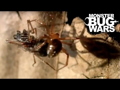 Rufus Comb Footed Spider vs Spitting Spider | MONSTER BUG WARS