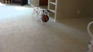 Dalmatians Being Silly With Ball
