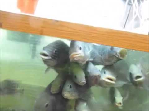 Update Tilapia FRY And Breeding Minnows