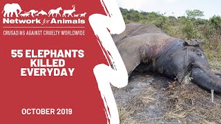 55 wild elephants are dying every day in Africa!