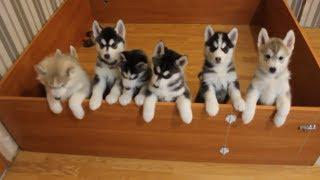 Dünya tatlısı Sibirya Kurdu Yavruları HUSKY