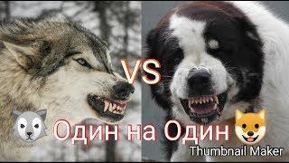 Волк против Алабая. КТО сильнее?!