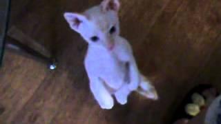 Котёнок стоит на задних лапах