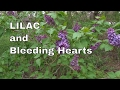 Purple lilac, white lilac, and numerous bleeding hearts (no talking)