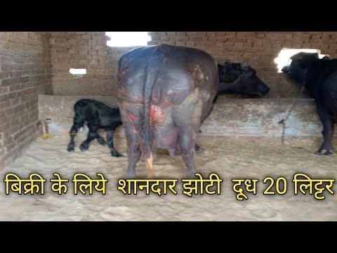 Download Rajasthan jila Ganganagar गांव pirawali  डेरी फार्म  दूसरे ब्यात की शानदार मु झोटी मे दूध 20 लीटर