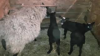 Романовская овца и ягнята.