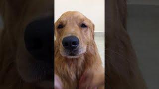 Golden Retriever Loves Pets     ViralHog
