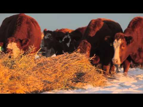 Winter Grazing Systems: Dealing With Extreme Cold and Snow