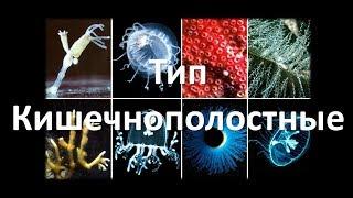 5. Тип Кишечнополостные (7 класс) - биология, подготовка к ЕГЭ и ОГЭ 2018