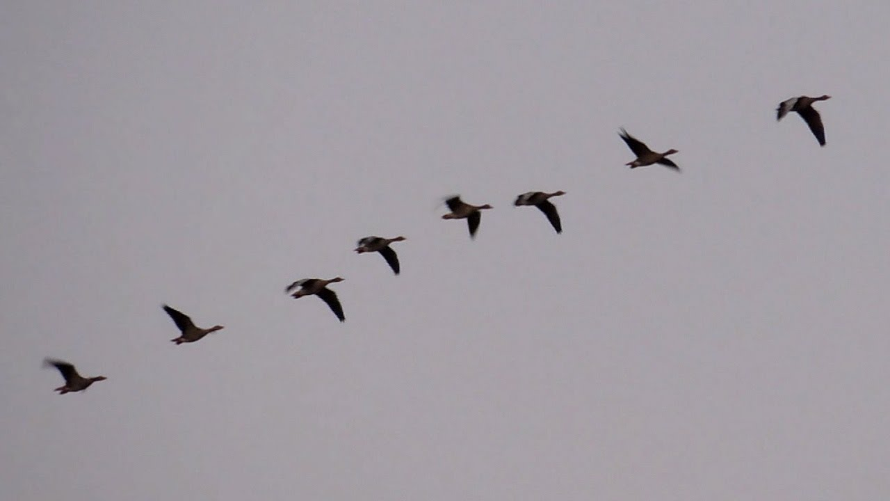 A flock of birds flying in formation in the evening of ...  Flock