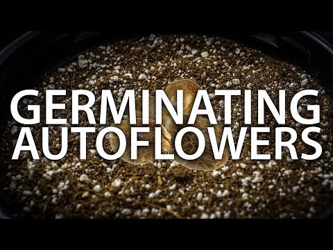 Germinating Autoflower Seeds With A 100% Success Rate