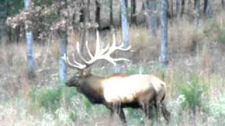 ~MONSTER BULL ELK~  .MOV