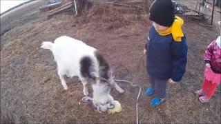 Тайная жизнь домашних животных. Коза-дереза(2 часть) The Secret Life of Pets.