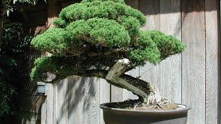 bonsai trees - bonsai trees pictures