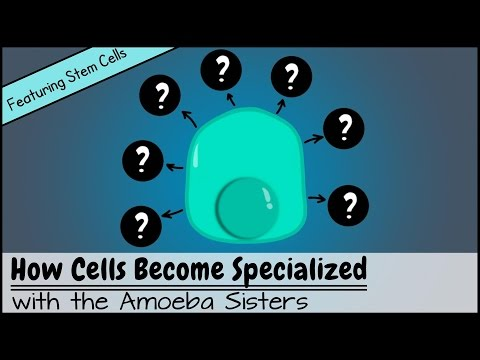 How Cells Become Specialized