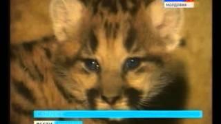 В Саранском зоопарке новорожденные пумы получили имена футбольных звезд