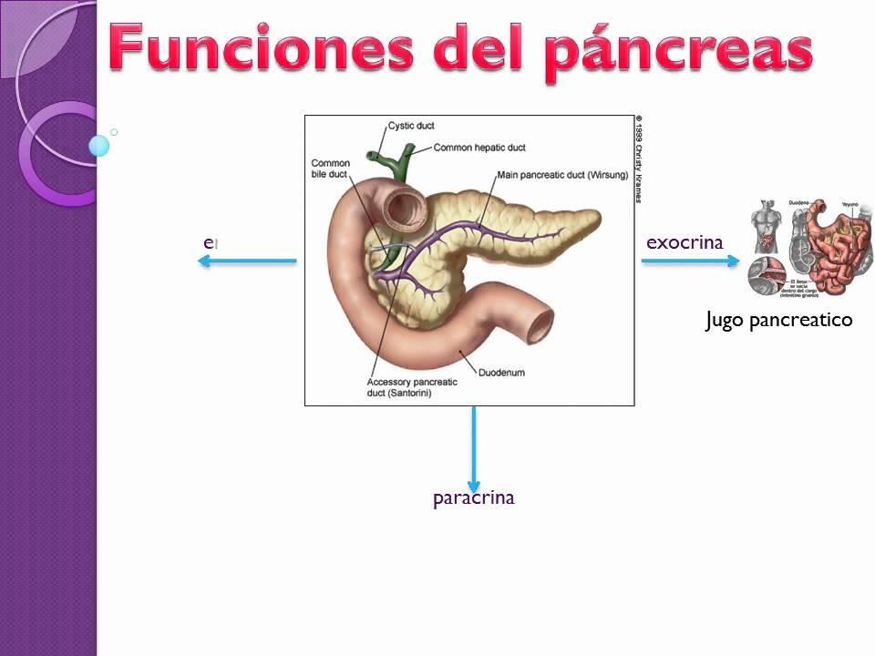 Atractivo Funciones Del Páncreas Friso - Anatomía de Las Imágenesdel ...