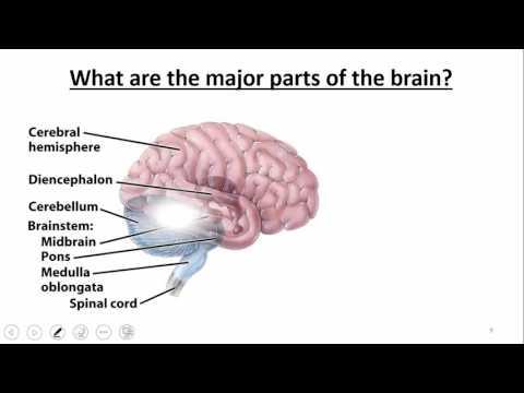 Nervous System: Brain & Cranial Nerves