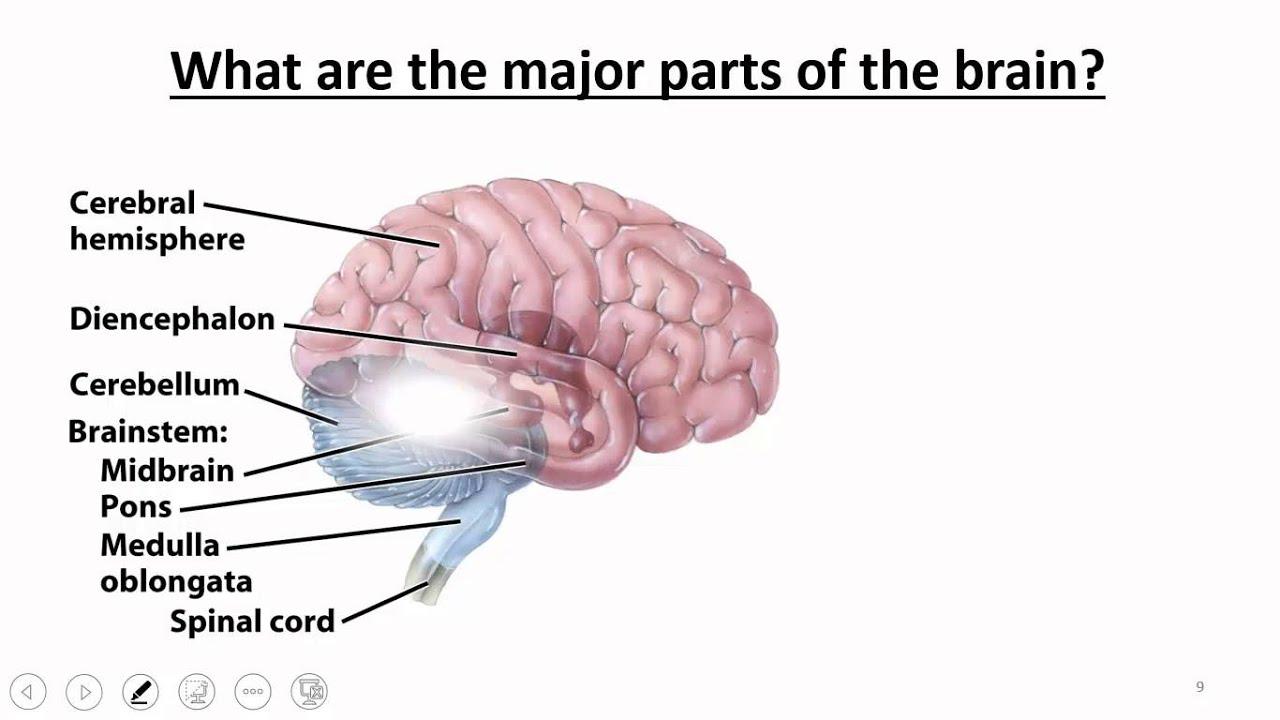 Nervous System: Brain & Cranial Nerves - YouTube