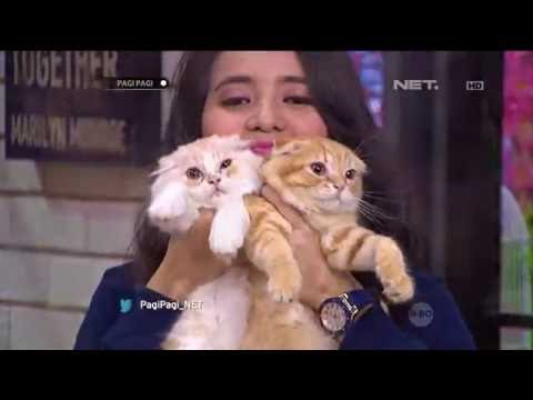 Cute Cat Watching TV Isnt Scottish Fold The Cutest Ca